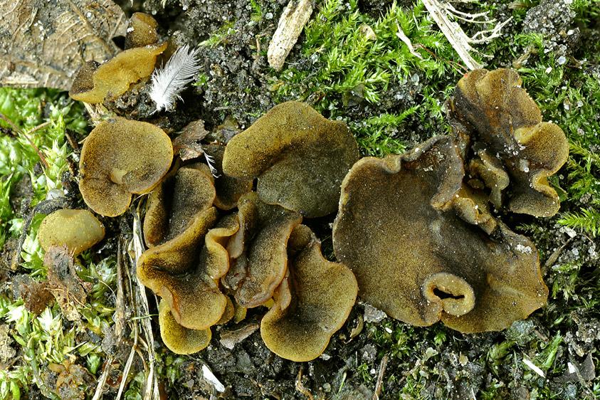 Ascobolus lignatilis (door Henk Huijser)