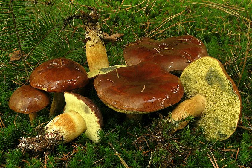 Xerocomus badius (door Henk Huijser)