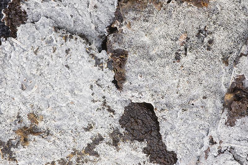 Botryobasidium laeve (door Nico Dam)