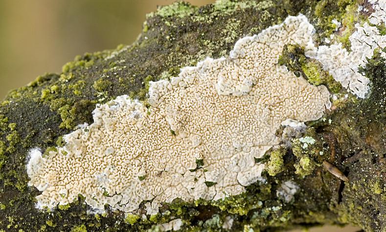 Ceraceomyces serpens (door Nico Dam)