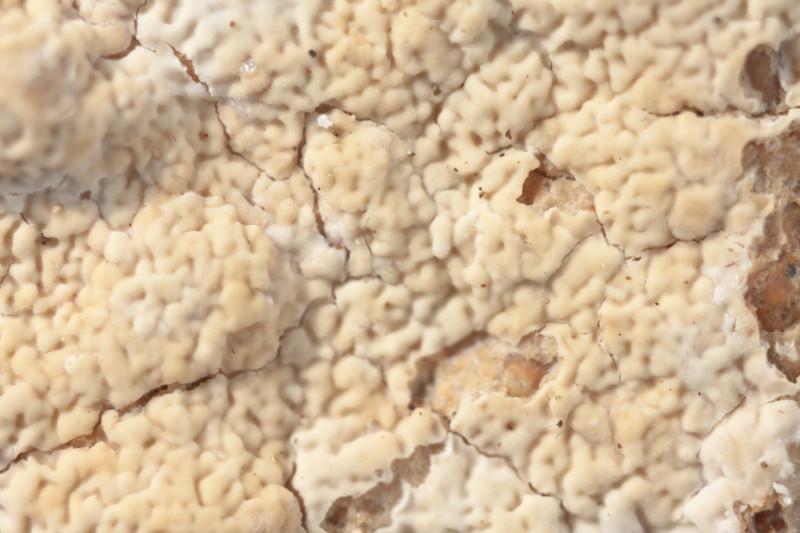 Ceraceomyces serpens (door Aldert Gutter)