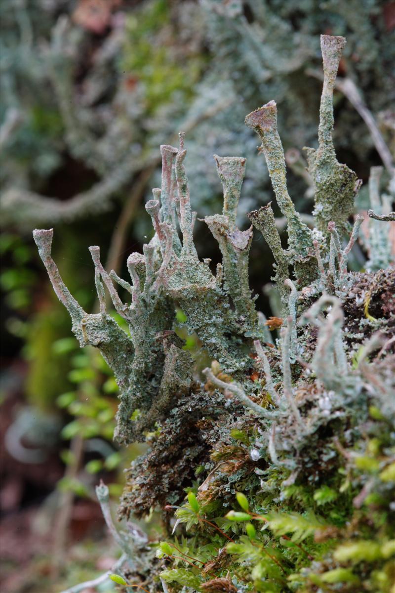 Cladonia grayi (door Henk Visser)