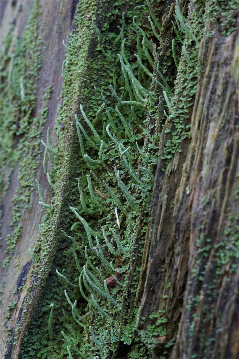 Cladonia macilenta (door Henk Visser)