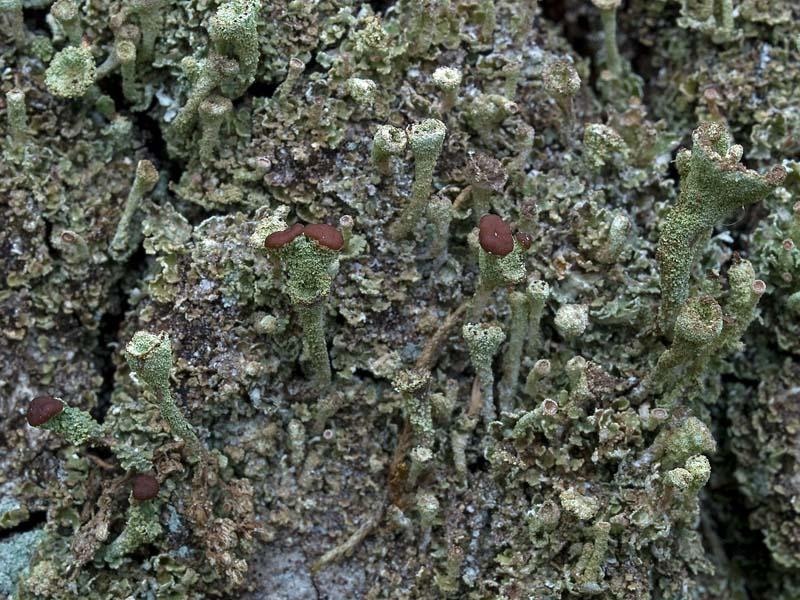 Cladonia grayi (door Bart Horvers)