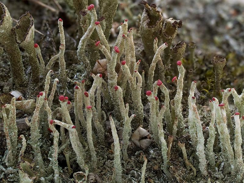 Cladonia macilenta (door Bart Horvers)