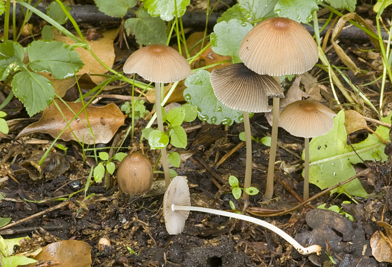 Parasola auricoma (door Nico Dam)