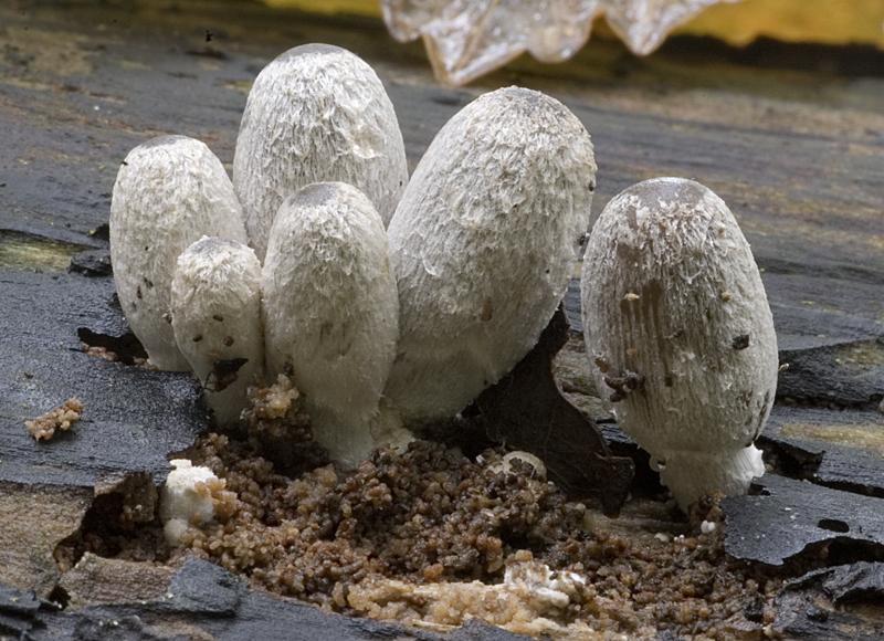 Coprinopsis echinospora (door Nico Dam)