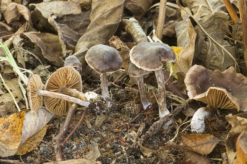 Cortinarius alnetorum (door Nico Dam)