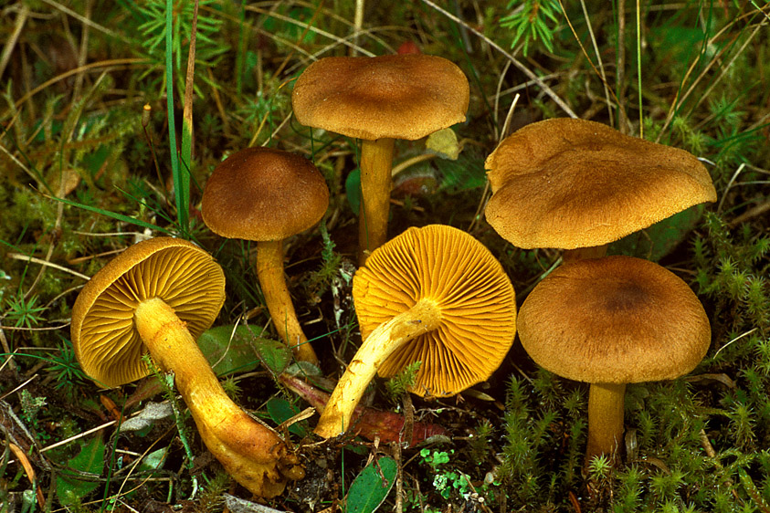 Cortinarius croceus (door Henk Huijser)