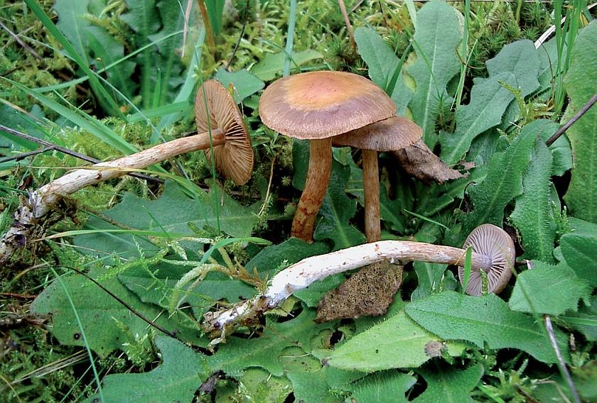 Cortinarius spilomeus (door onbekend)