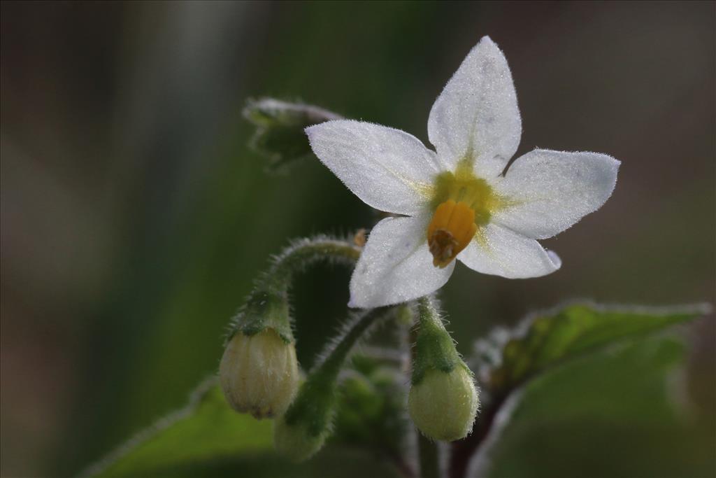 Solanum nigrum subsp. schultesii (door Willem Braam)