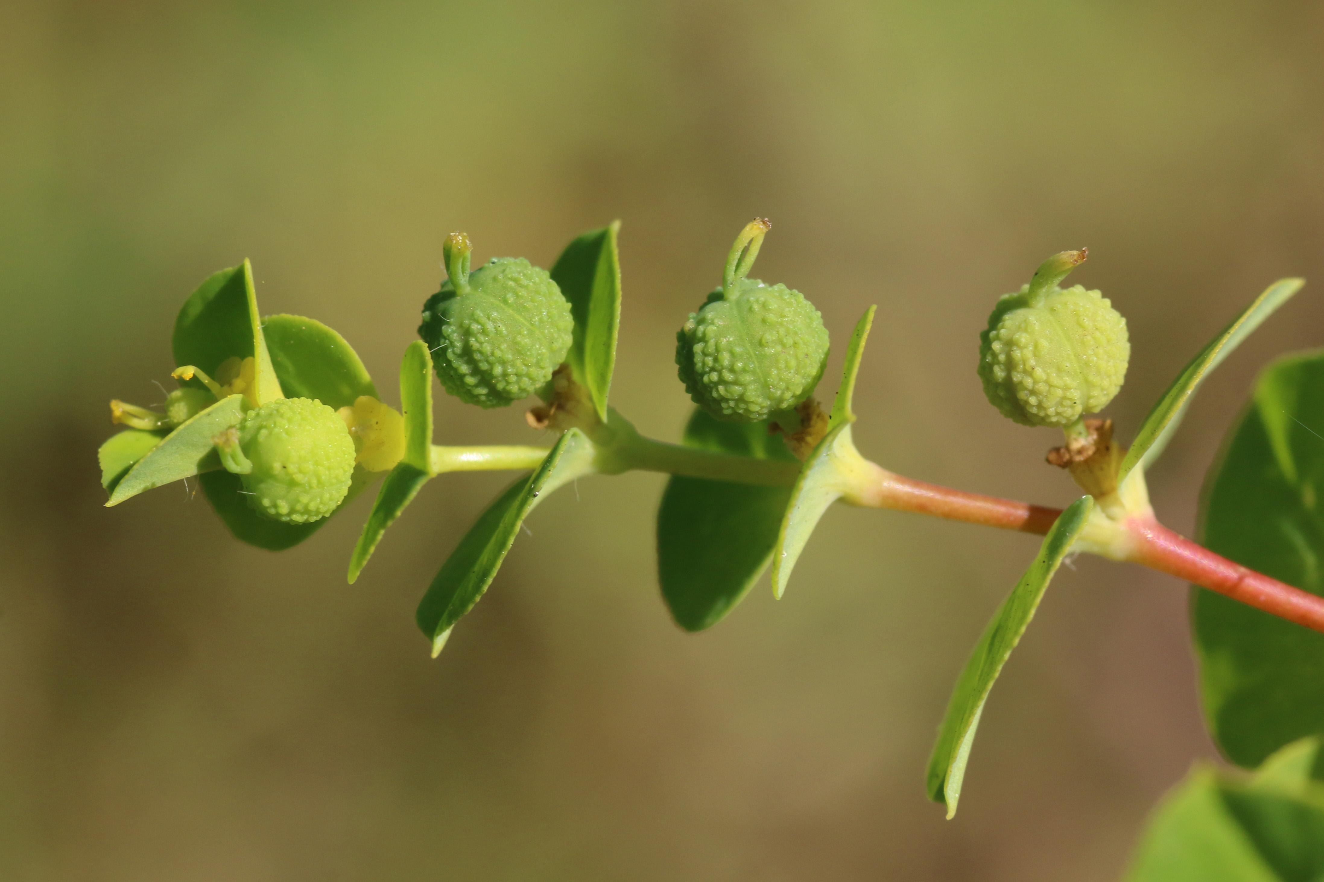 Euphorbia platyphyllos (door Willem Braam)