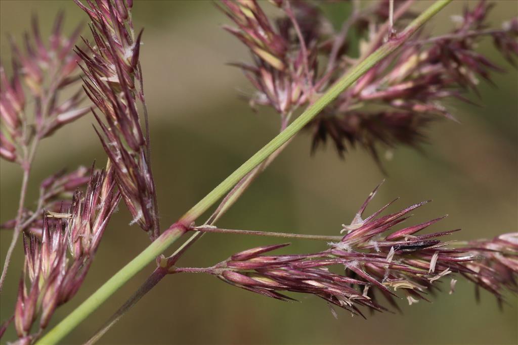 Calamagrostis epigejos (door Willem Braam)