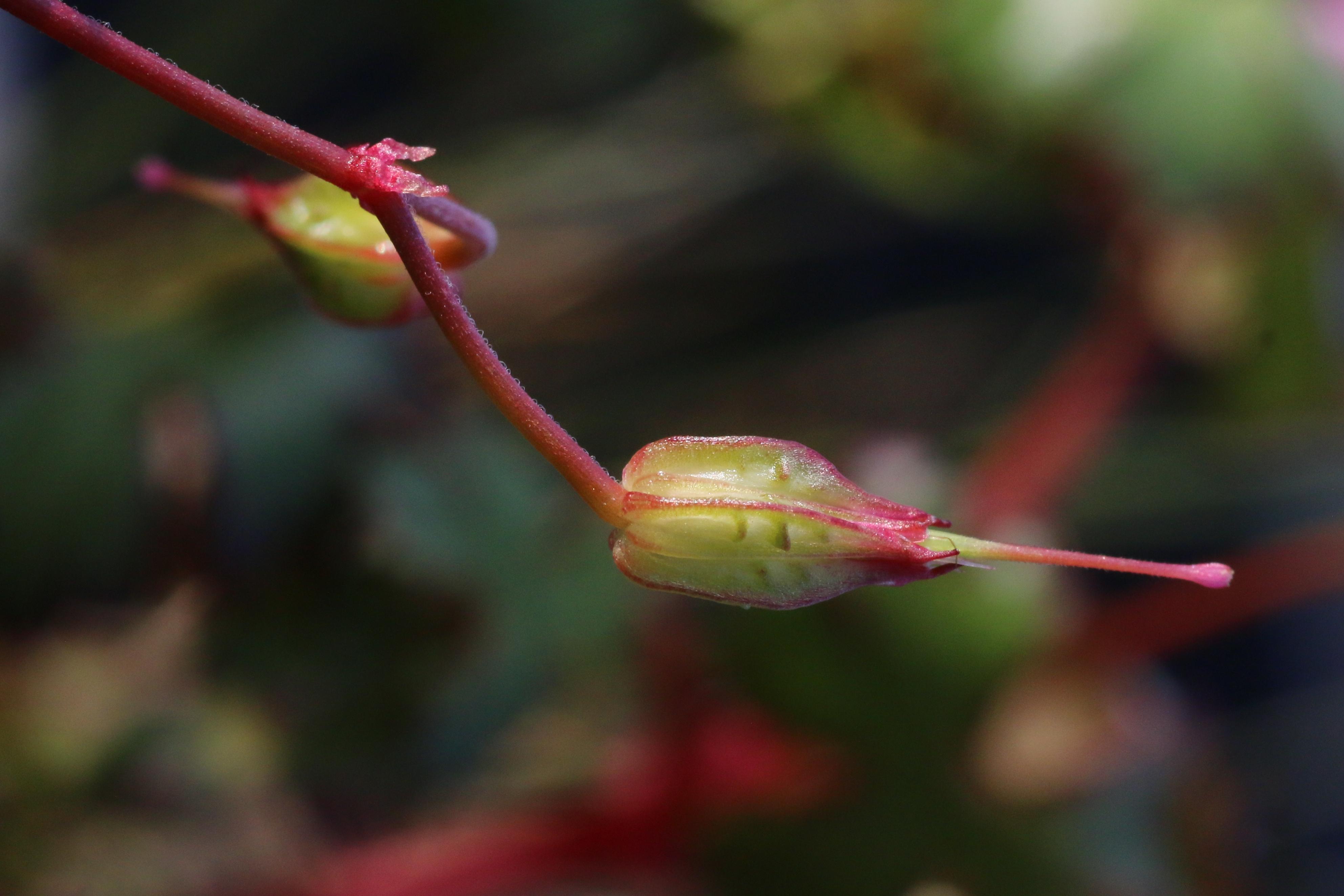 Geranium lucidum (door Willem Braam)