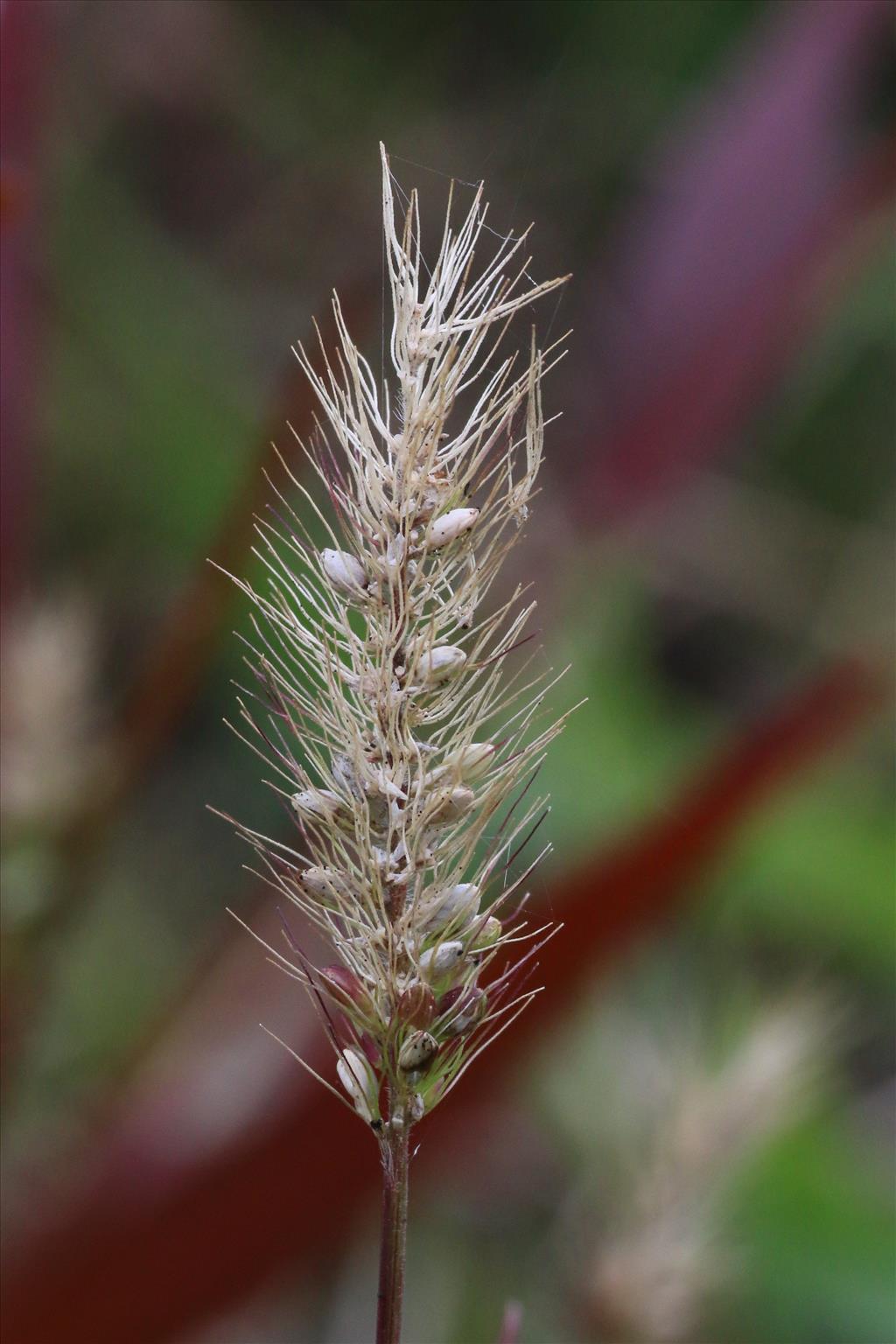 Setaria viridis (door Willem Braam)