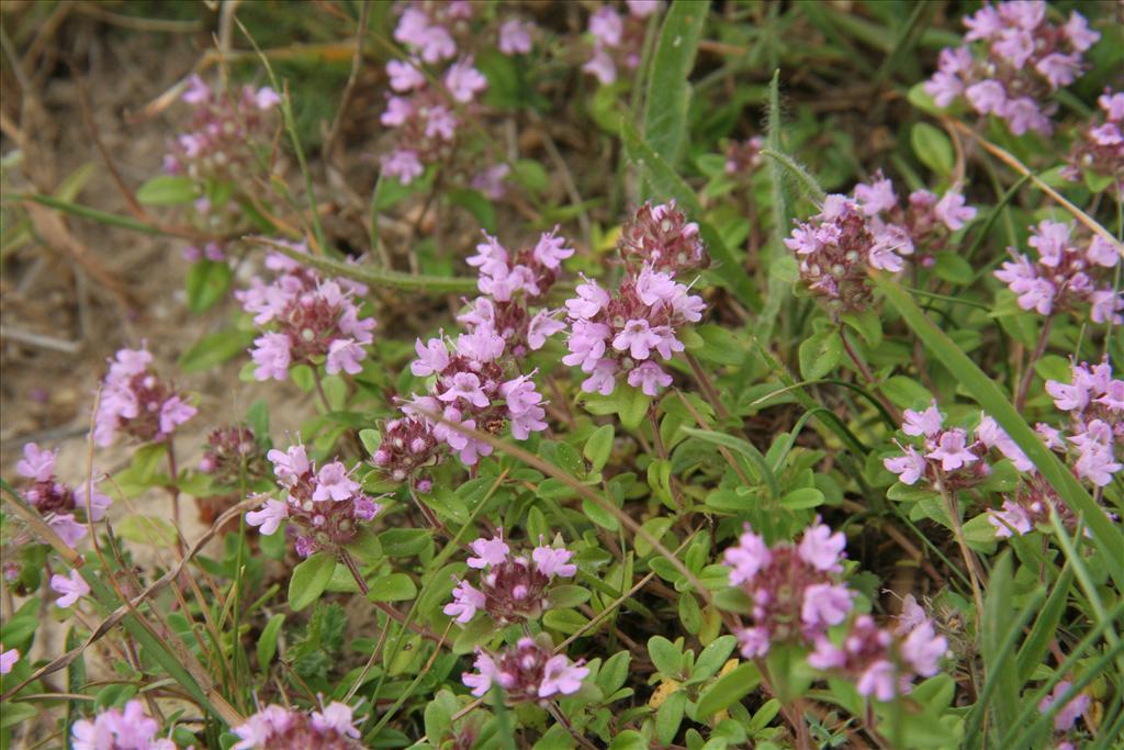 FLORON Verspreidingsatlas | Thymus pulegioides - Grote tijm
