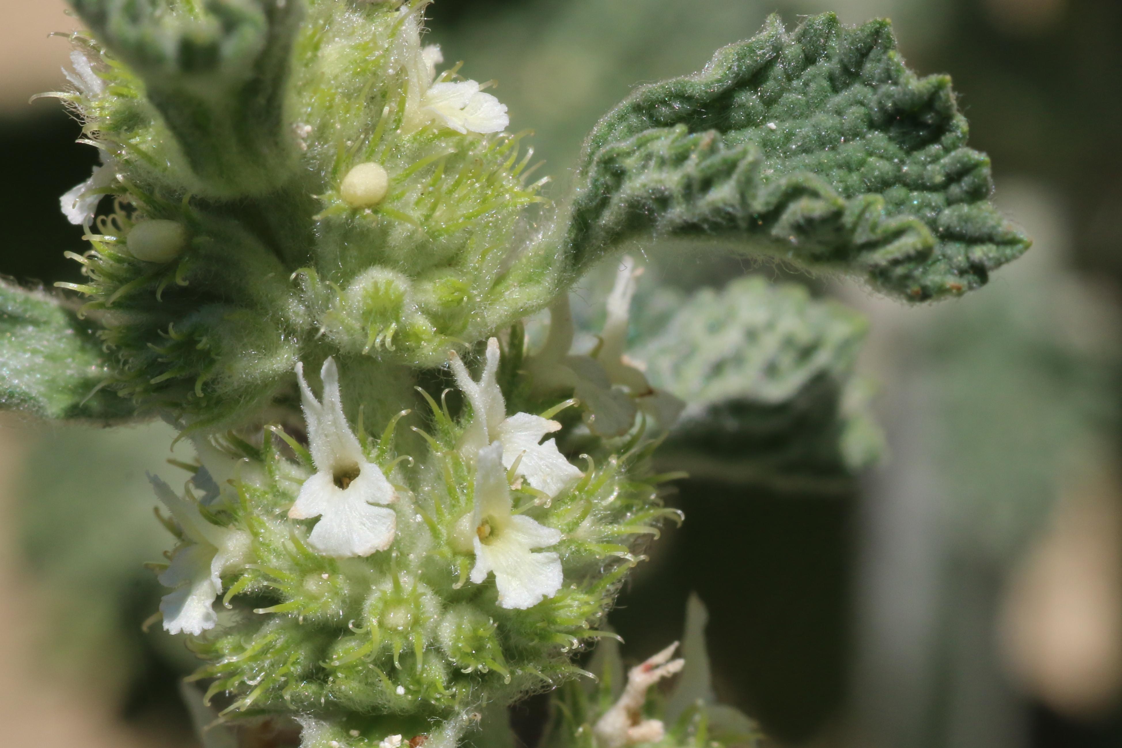 Marrubium vulgare (door Willem Braam)