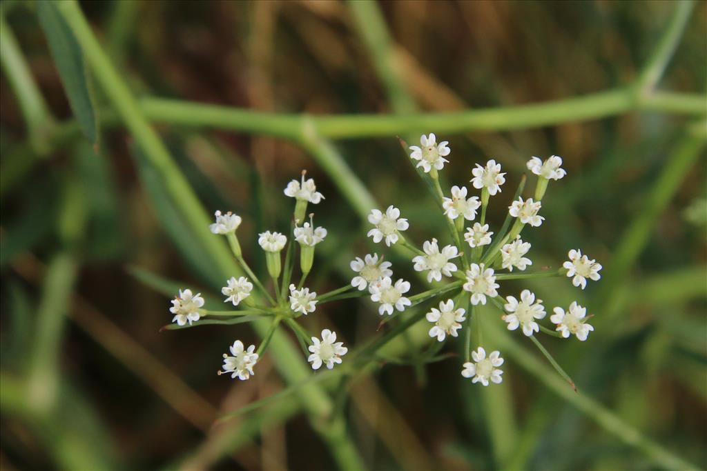 Falcaria vulgaris (door Willem Braam)