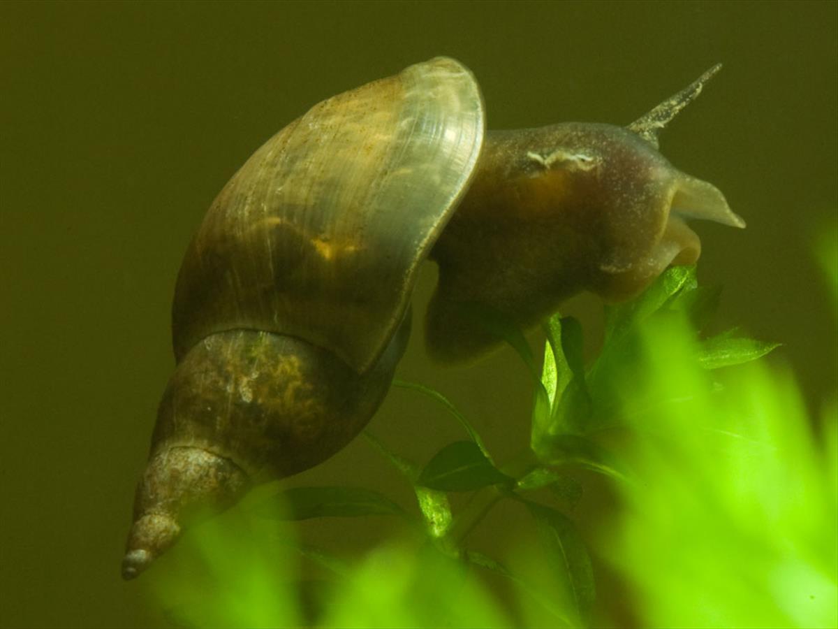 Lymnaea stagnalis (door Dirk-Jan Saaltink)