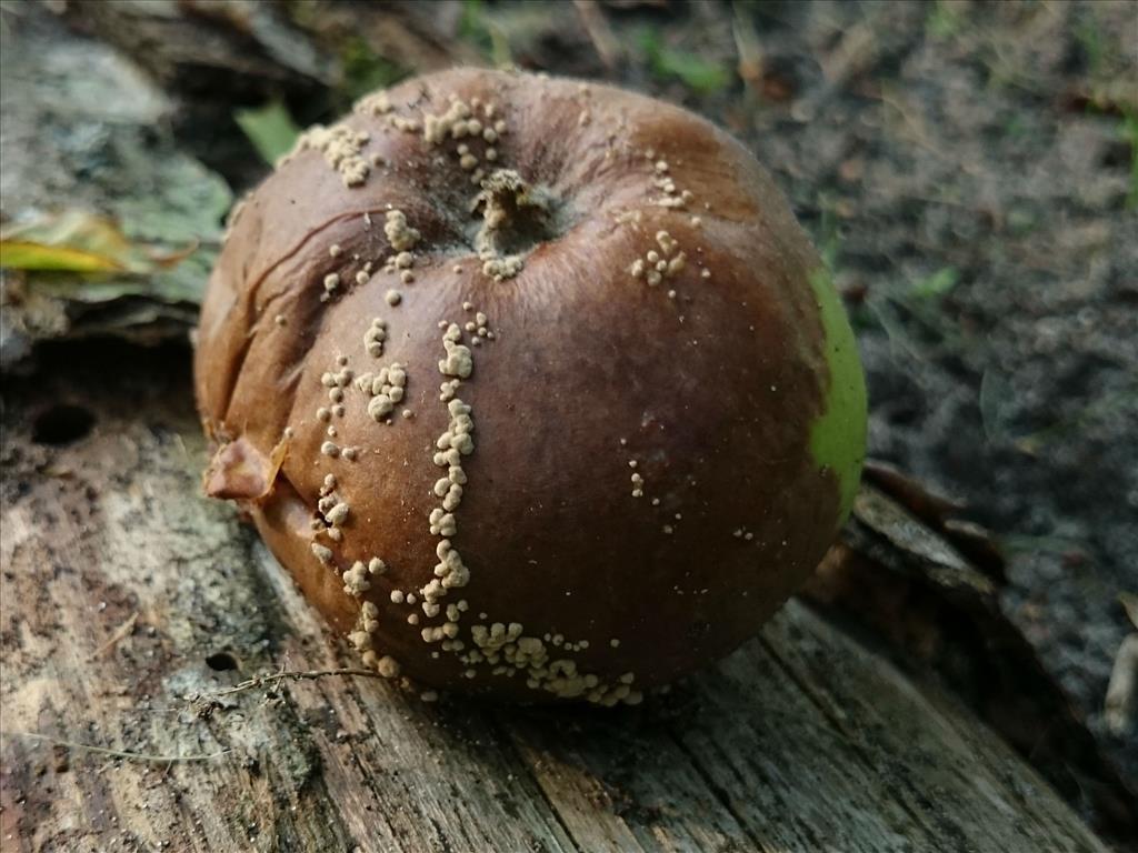 Monilinia fructigena anamorf (door Michel Beeckman)