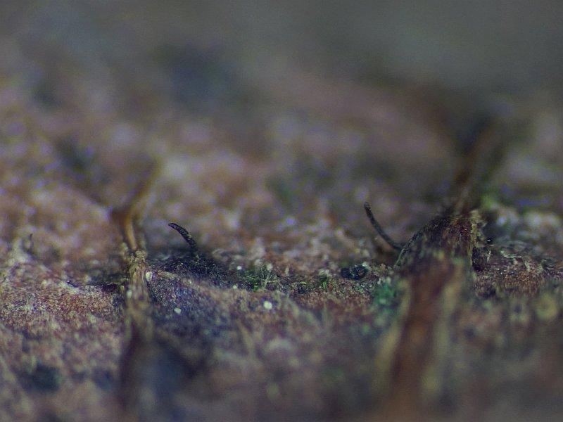 Linospora capreae (door Marian Jagers)