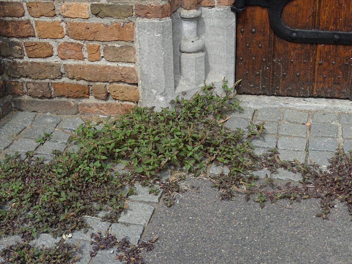 Amaranthus deflexus (door Lieuwe Haanstra)