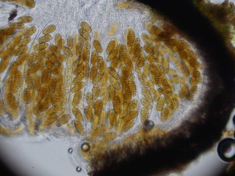 Pleospora cytisi teleomorf (door Marian Jagers)