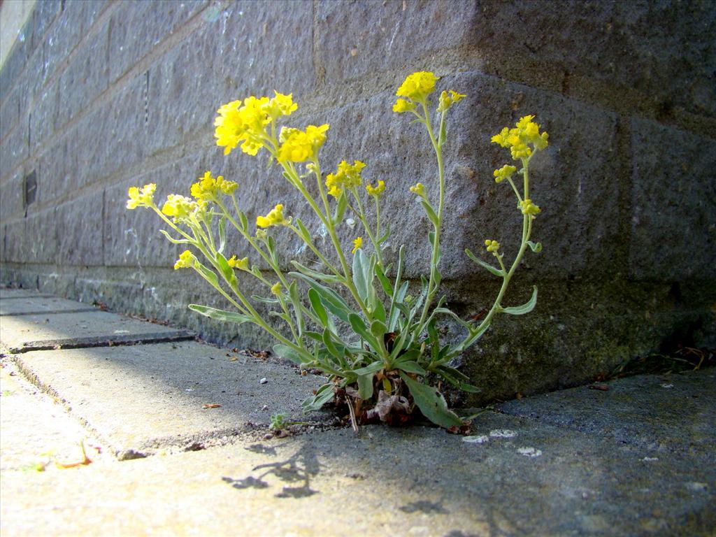 Alyssum saxatile (door Joop Verburg)