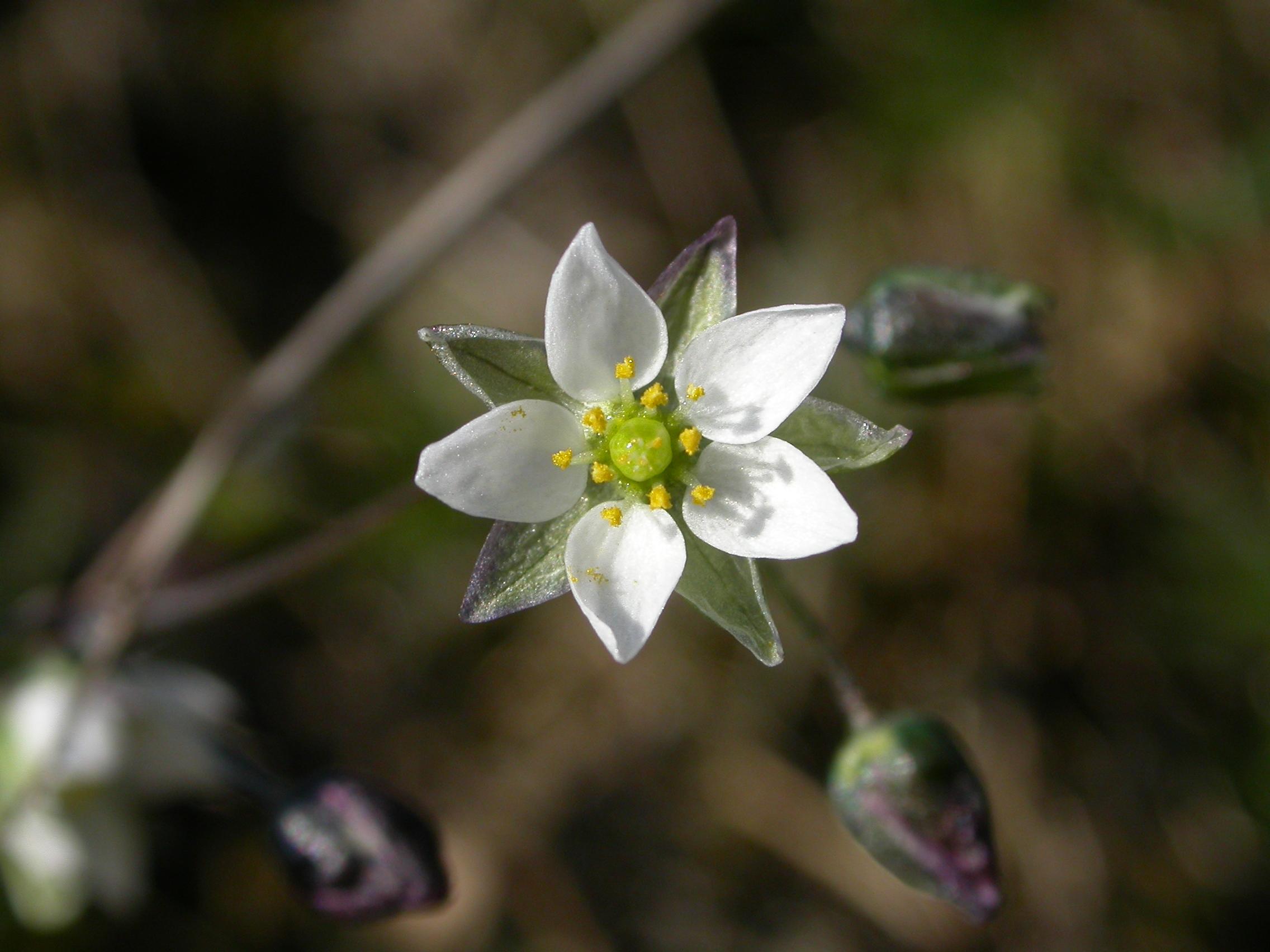 Spergula morisonii (door Laurens Sparrius)