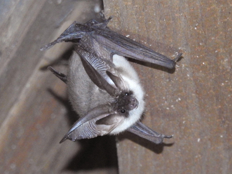 Plecotus austriacus (door Bernadette van Noort)