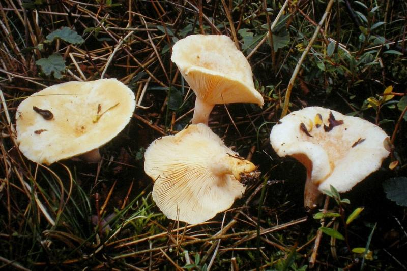 Lactarius pubescens (door Aldert Gutter)
