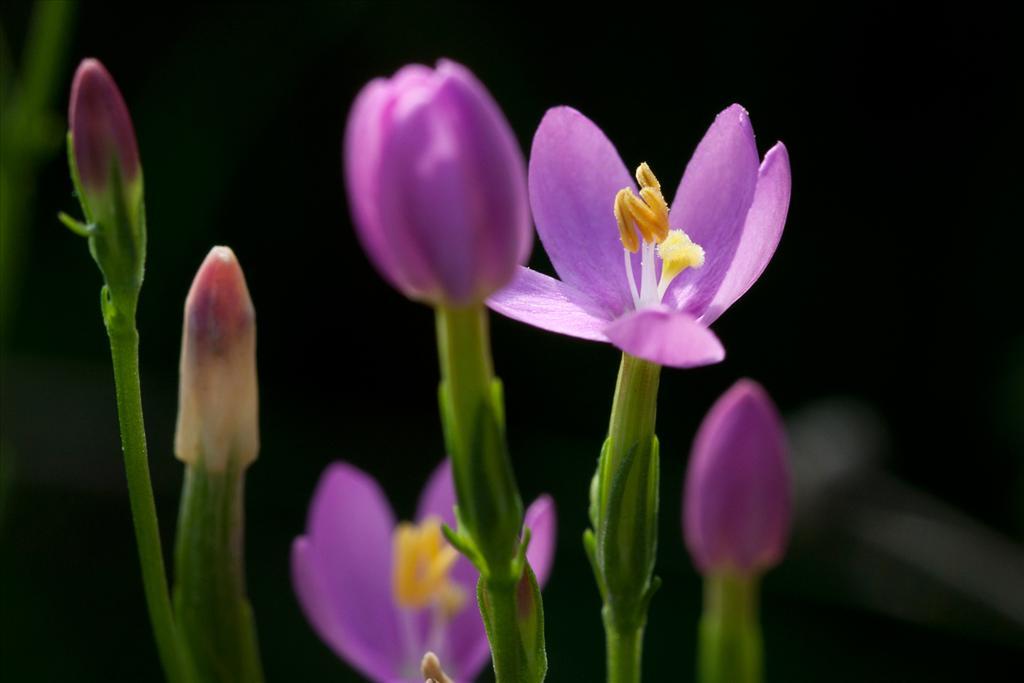 Centaurium erythraea (door Valentine Kalwij)