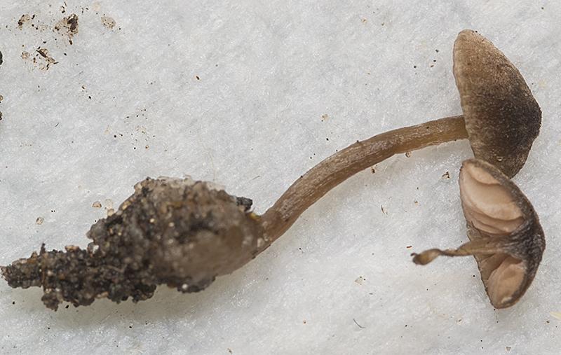Entoloma brunneoflocculosum (door Nico Dam)
