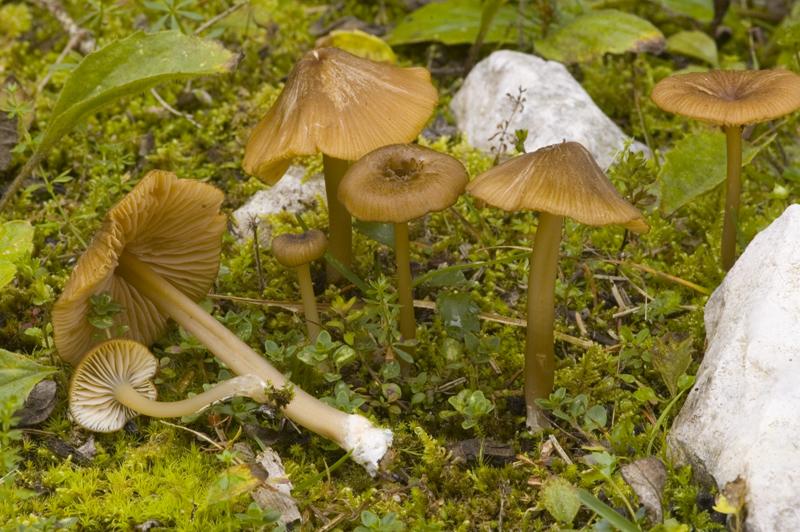 Entoloma longistriatum (door Nico Dam)