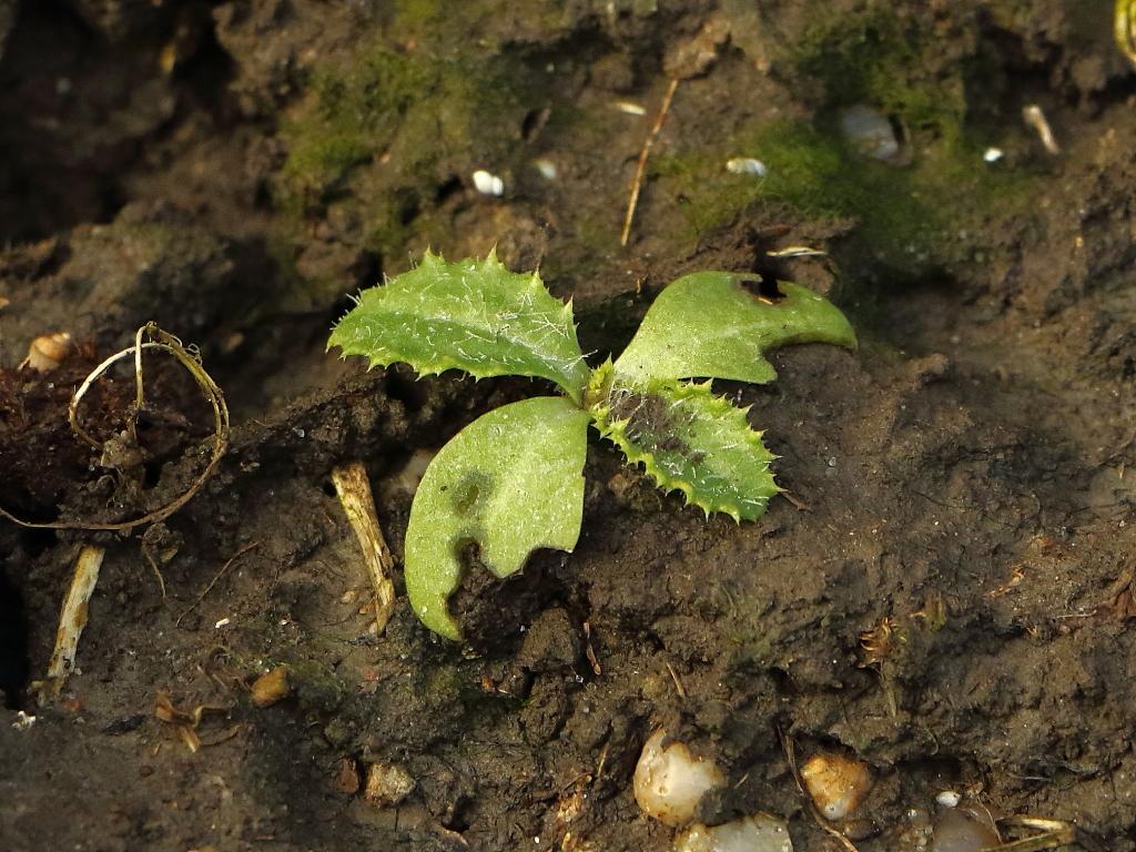 Carduus tenuiflorus (door Gerrit Welgraven)