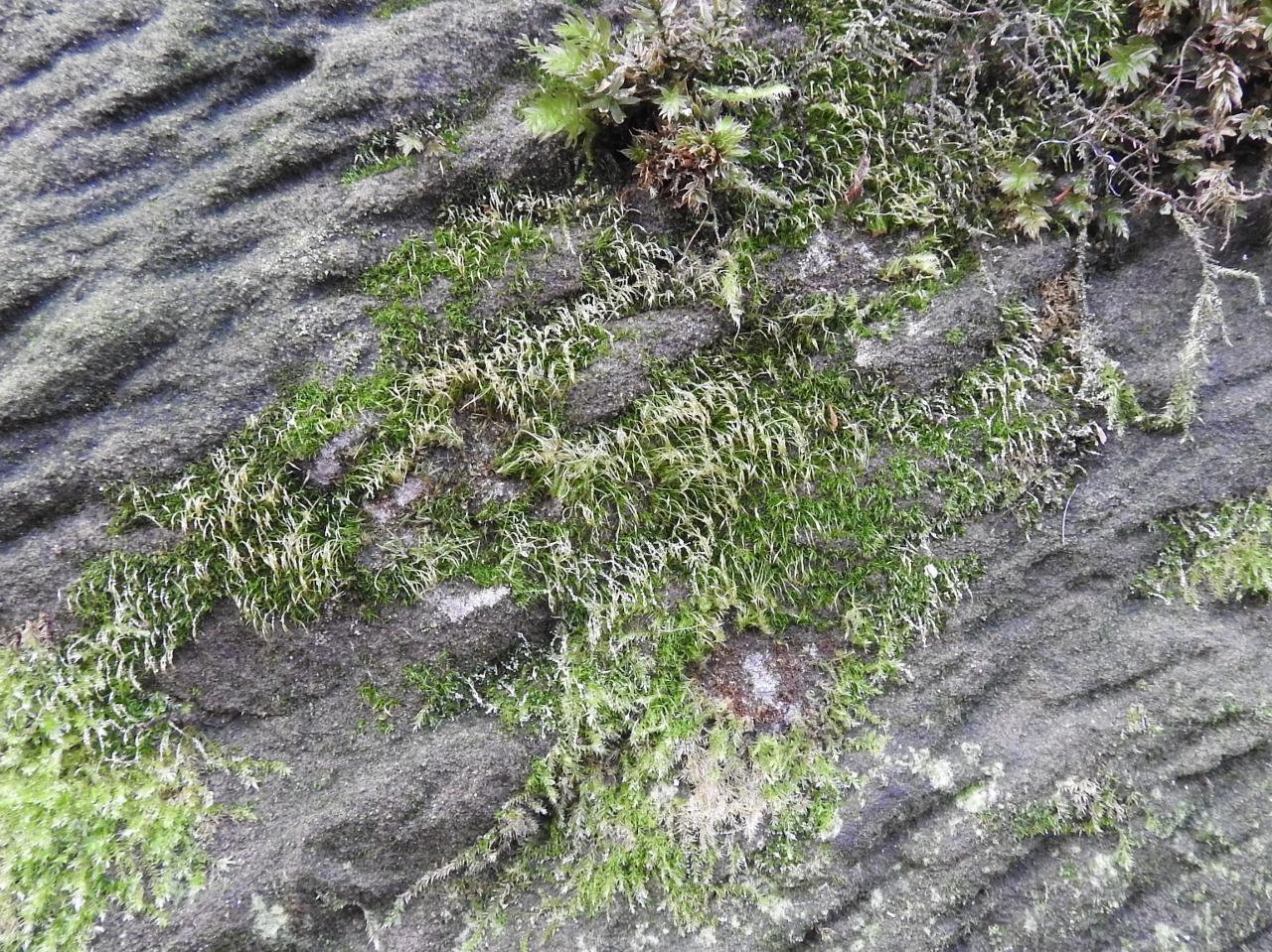 Seligeria recurvata (door Annemiek Meus)