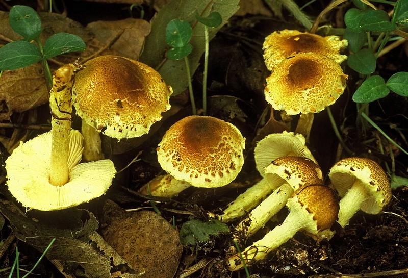 Lepiota xanthophylla (door Henk Huijser)