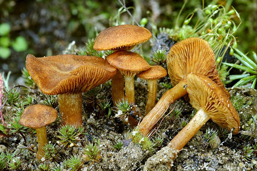 Gymnopilus decipiens (door Henk Huijser)