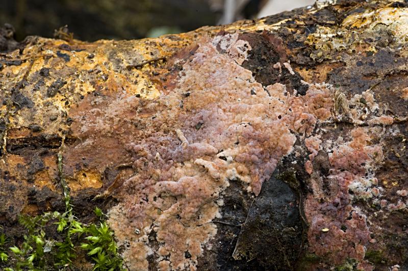 Helicobasidium brebissonii (door Nico Dam)