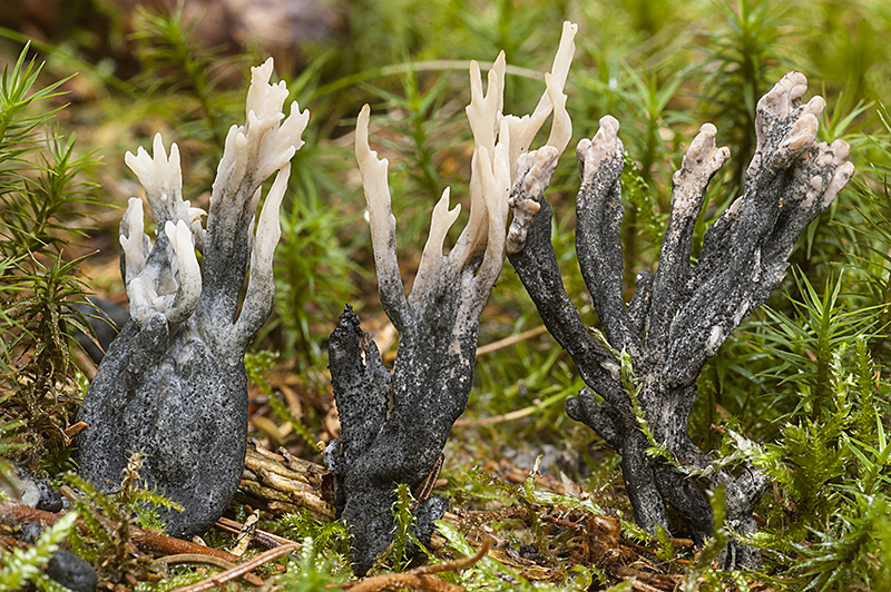 helminthosphaeria clavariarum)