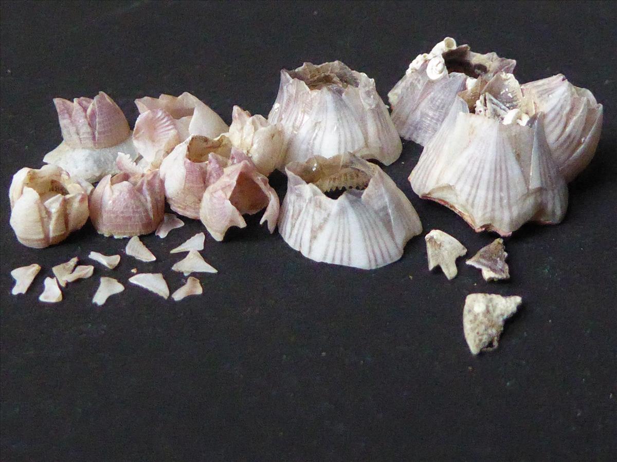 Hesperibalanus fallax (door Gerrit Doeksen)