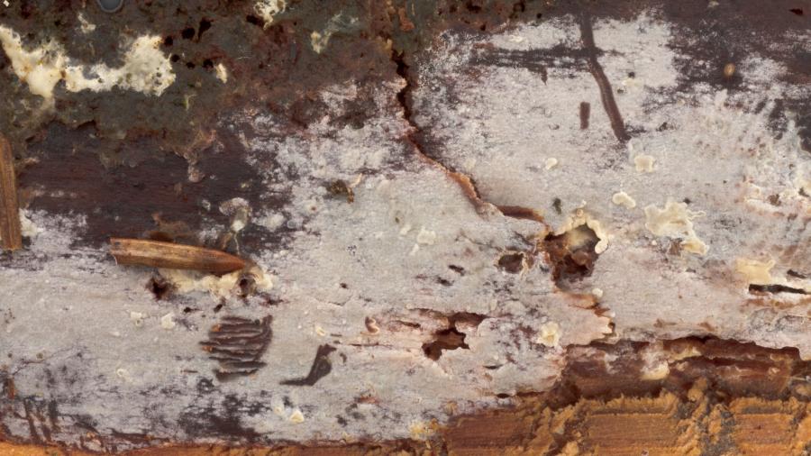 Hyphoderma cremeoalbum (door Aldert Gutter)