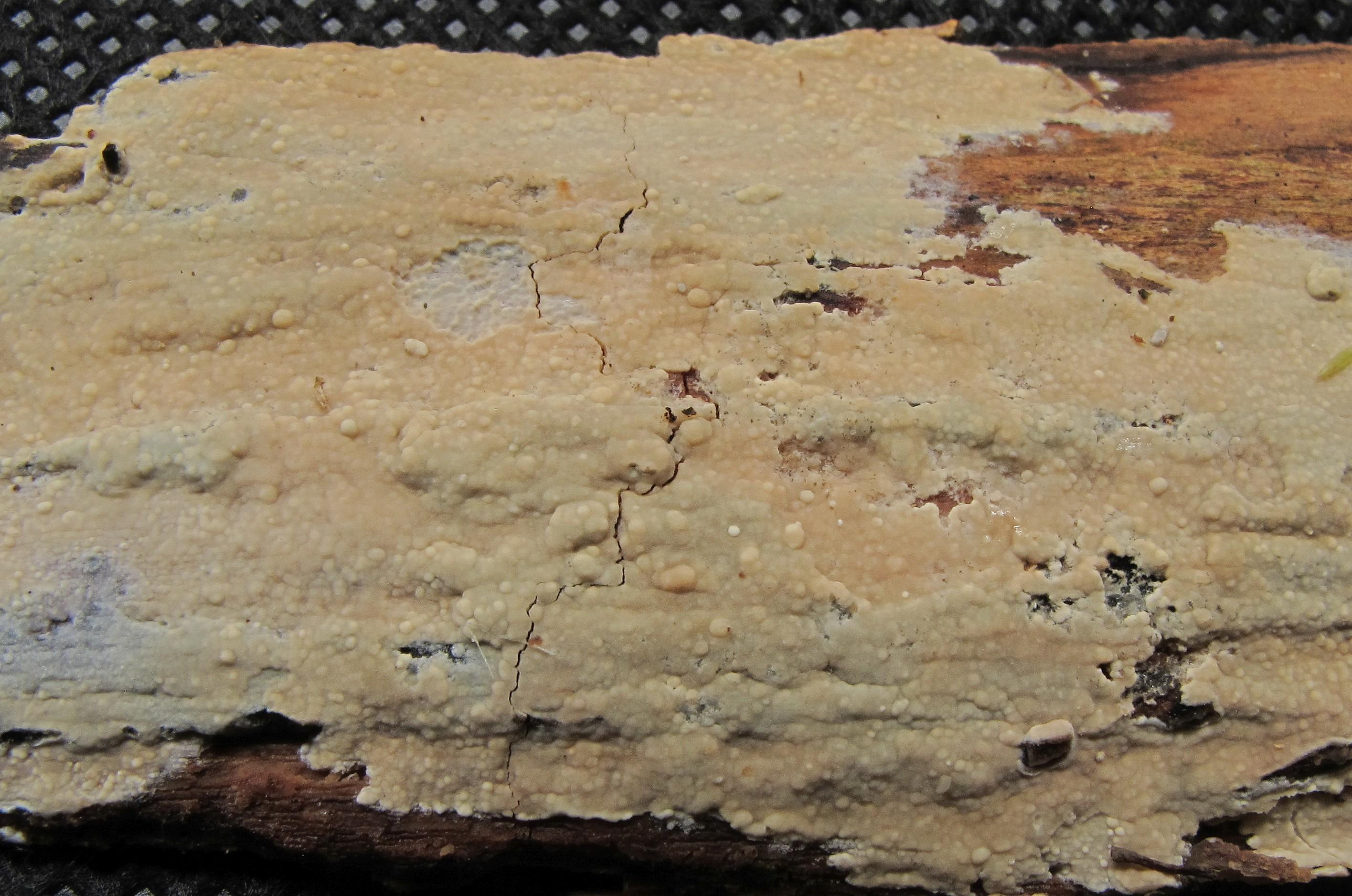 Hyphoderma medioburiense (door Eduard Osieck)