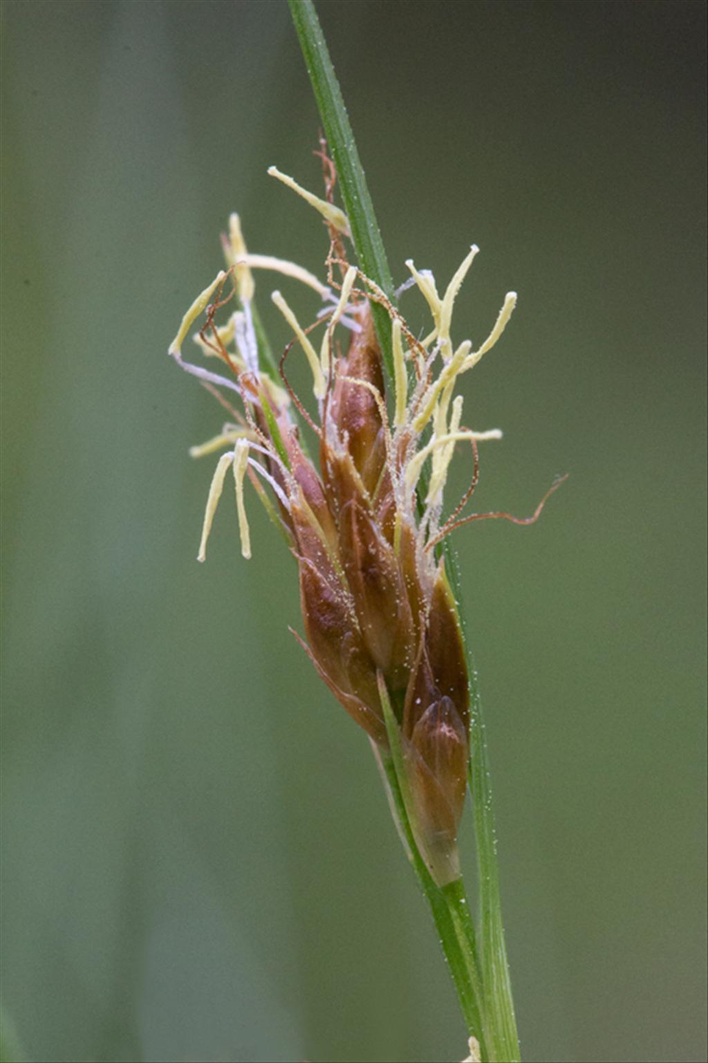 Rhynchospora fusca (door Valentine Kalwij)