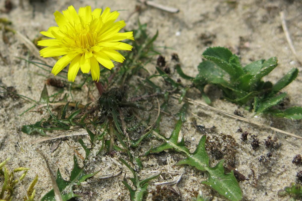 Taraxacum sect. Erythrosperma (door Hans Toetenel)