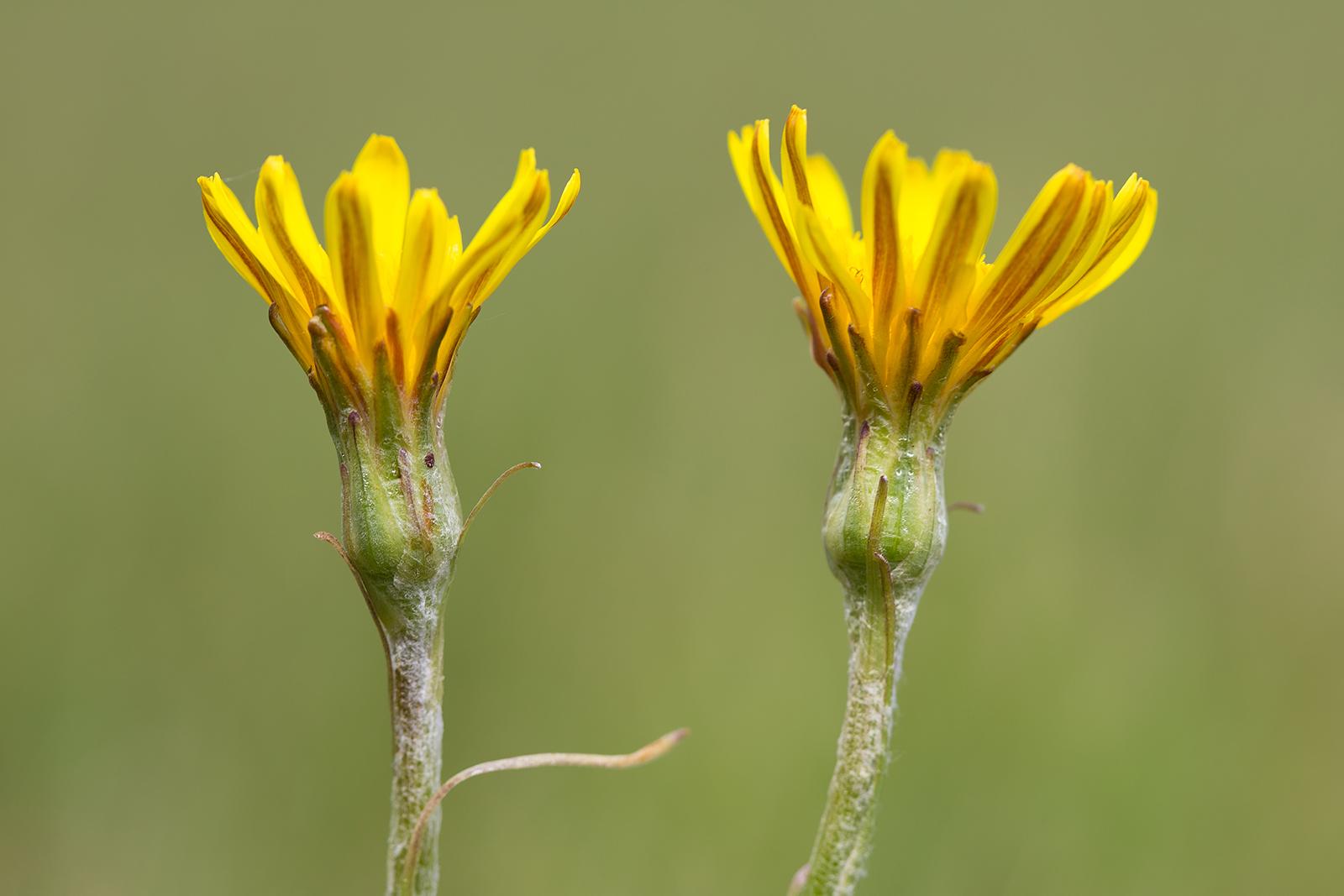 Scorzonera humilis (door Bert Blok)