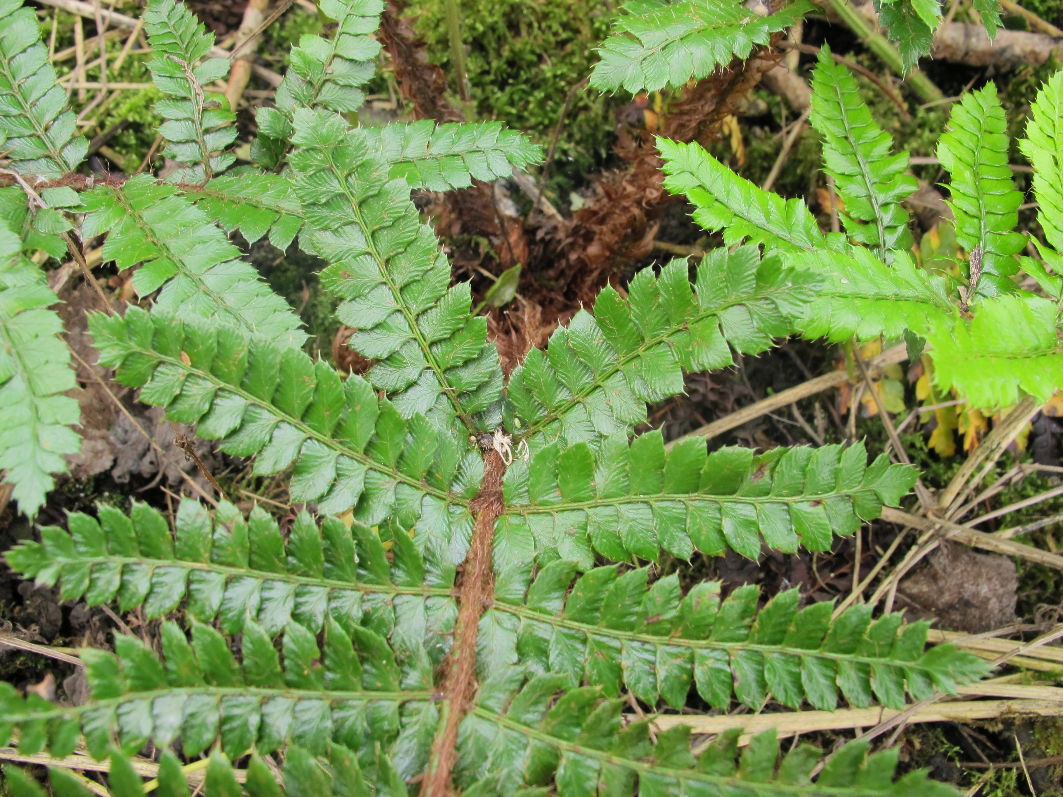 Polystichum polyblepharum (door Sipke Gonggrijp)