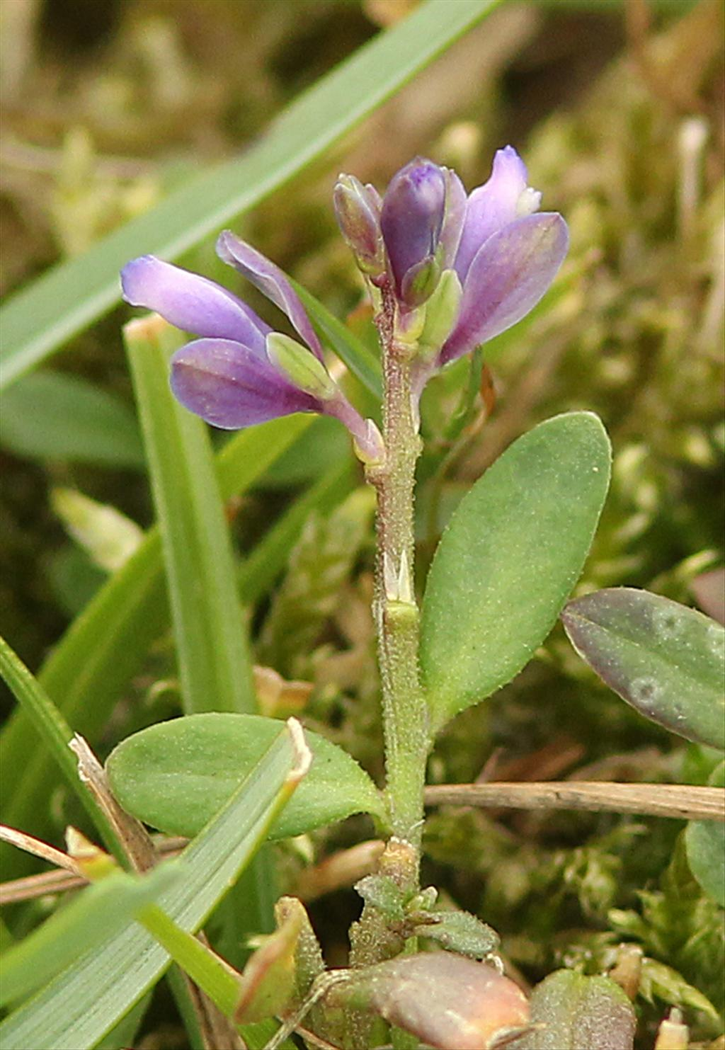 Polygala serpyllifolia (door jan katsman)