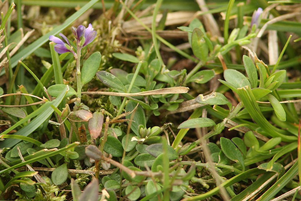 Polygala serpyllifolia (door jan katsman)