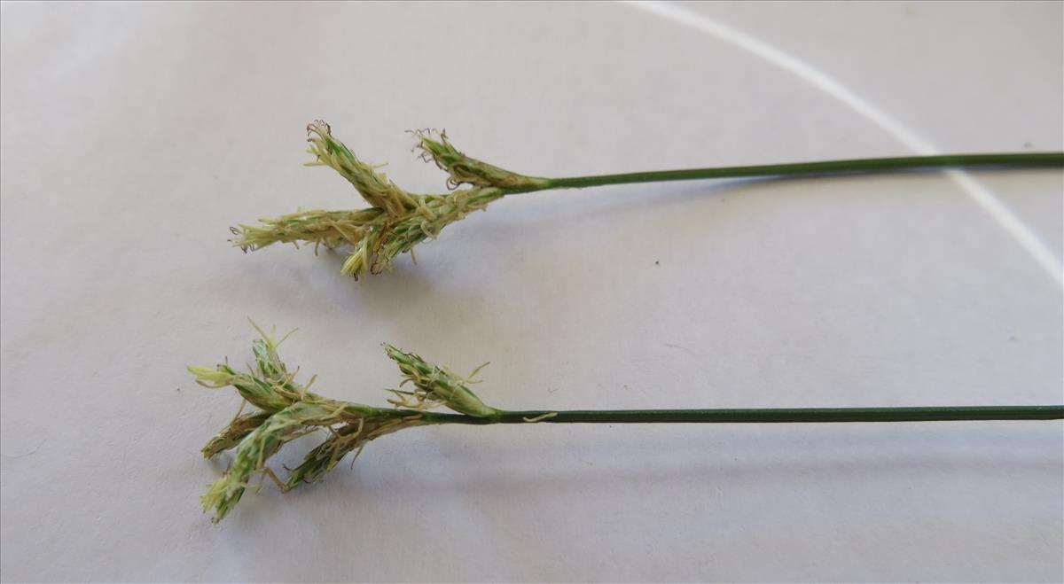 Carex brizoides (door Han Beeuwkes)
